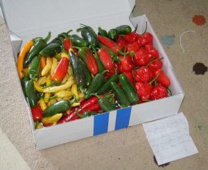 Heinän puutarhasta tilasin tuoreita chilejä matkahuollon kautta